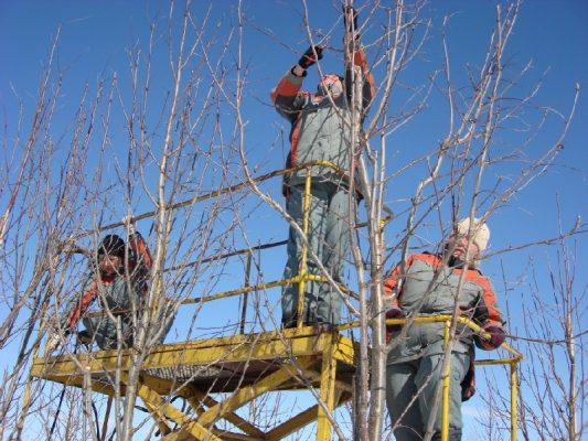 Обрезка деревьев: что такое и зачем нужна